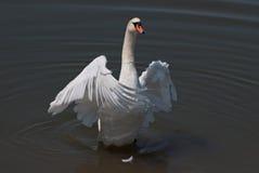Vit swan med öppningsvingar arkivbild