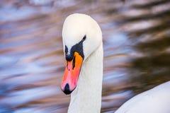 Vit swan Närbild waterfowl suddighet bakgrund royaltyfri fotografi