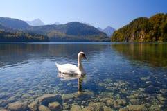 Vit swan på Alpsee Royaltyfria Foton