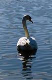 Vit Swan på den lugnaa laken royaltyfria bilder