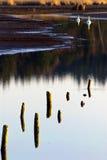 Vit Swan på laken arkivfoton