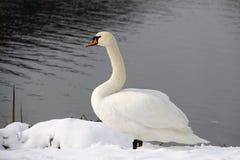Vit swan på snowen royaltyfria bilder