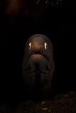 Vit synad Moray Eel - Gymnothorax thyrsoideus Royaltyfri Foto