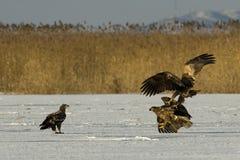 Vit Tailed örn Fotografering för Bildbyråer