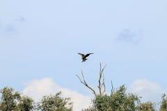 Vit-tailed örn nära floden IJssel, Nederländerna Fotografering för Bildbyråer