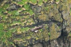 Vit-tailed örn som fästas till en brant klippa royaltyfria bilder