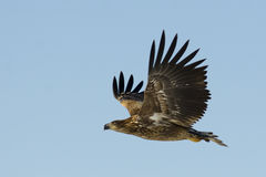 Vit Tailed örnen Royaltyfri Foto