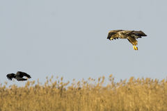 Vit Tailed örnen Arkivfoton