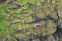 Vit-tailed örnlandning på en brant klippa royaltyfri bild