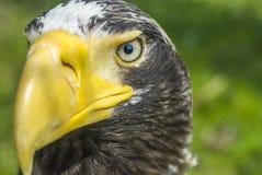 Vit-tailed örnnärbild Fotografering för Bildbyråer