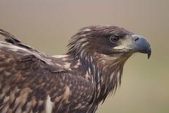 Vit tailed örnportraite Royaltyfria Bilder