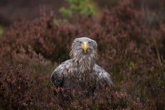 Vit-tailed örnstående Royaltyfri Foto