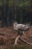 Vit-tailed bajsa för örn fotografering för bildbyråer