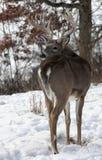 Vit-Tailed bock Royaltyfri Bild