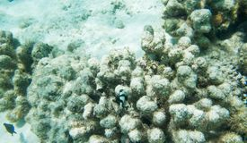Vit-tailed Damselfish och Surgeonfish Royaltyfri Bild