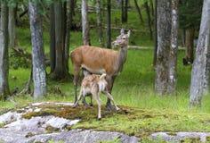 Vit tailed deers Arkivbilder