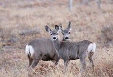 Vit tailed deers Royaltyfri Bild