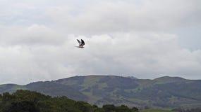 Vit Tailed drake över de Kalifornien kullarna Royaltyfri Fotografi