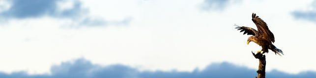 Vit Tailed Eagle landning i trädet, banerkopieringsutrymme Royaltyfri Fotografi