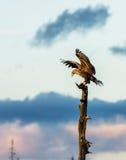 Vit Tailed Eagle landning i trädet, vertikalt kopieringsutrymme Fotografering för Bildbyråer