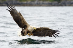 Vit-tailed Eagle som fångar fisken Fotografering för Bildbyråer