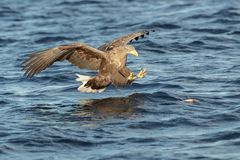 Vit-tailed Eagle som gör ett lås Arkivbild