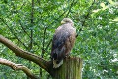 Vit-tailed Hav-Eagle Eagle av regnet, den gråa örnen för havet, erne, den gråa örnen i fågel parkerar Royaltyfri Bild