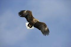 Vit-tailed hav-Eagle, Haliaeetusalbicilla royaltyfria bilder