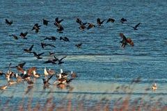 Vit-tailed hav Eagle (Haliaeetusalbicilla) som skrämmer en flock av gråa galanden Arkivfoto
