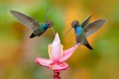 Vit-tailed Hillstar, Urochroa bougueri, två kolibrier i flykten på den knackablomma-, gräsplan- och gulingbakgrunden, två som mat royaltyfri foto