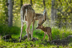 Vit-Tailed hjort (Odocoileusvirginianus) slickar henne lismar Arkivbild