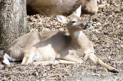 Vit-tailed hjortar Royaltyfria Bilder