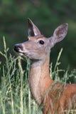 Vit-tailed hjortar Royaltyfri Foto