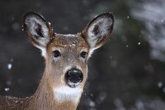 Vit-tailed hjortar Arkivbild