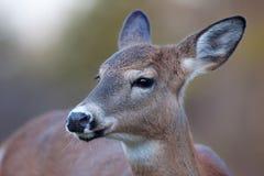 Vit-tailed hjortar Royaltyfri Fotografi