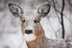 Vit-tailed hjortar Royaltyfri Bild