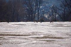 Vit Tailed hjortar i ett fält Arkivbild