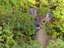 Vit-tailed hjortar i trän royaltyfri foto
