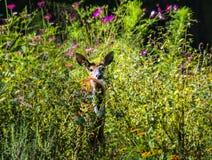 Vit Tailed hjortar lismar i trädgård Arkivfoto