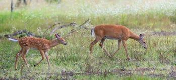 Vit-tailed hjortar lismar och doeanseendet i skogen Arkivfoton