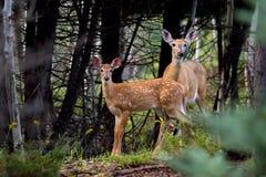 Vit-tailed hjortar lismar och doeanseendet i skogen Royaltyfri Fotografi