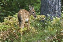 Vit-tailed hjortar lismar Odocoileusvirginianusen som bläddrar på Royaltyfria Foton