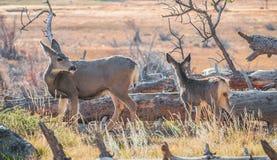 Vit Tailed hjortar med kalven Fotografering för Bildbyråer