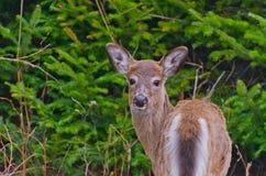Vit-Tailed hjortar (Odocoileusvirginianusen) Fotografering för Bildbyråer