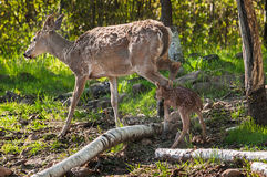 Vit-Tailed hjortar (Odocoileusvirginianusen) Fawn Follows Mother Arkivbilder