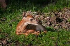 Vit-Tailed hjortar (Odocoileusvirginianusen) Fawn Looks Right Royaltyfri Bild