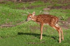 Vit-Tailed hjortar (Odocoileusvirginianusen) Fawn Stands Royaltyfri Bild