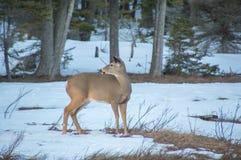 Vit tailed hjortar på äng i vinter med snö som bakom ser arkivfoton