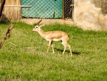 Vit-tailed hjortar som äter gräs i fältet royaltyfria foton