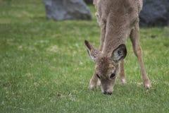 Vit-Tailed hjortar & x28; Virginia Deer & x29; fotografering för bildbyråer